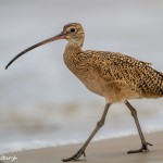 2864 Long-billed Curlew (Numenius americanus), Bolivar Peninsula, TX