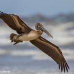 2865 Juvenile Brown Pelican (Pelicanus occidentalis), Bolivar Peninsula, TX