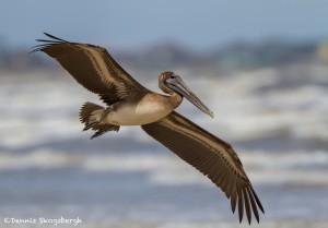 2865 Juvenile Brown Pelican (Pelicanus occidentalis), Bolivar Peninsula, TX