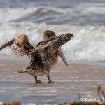 2867 Juvenile Brown Pelican (Pelicanus occidentalis), Bolivar Peninsula, TX