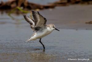 2868 Juvenile Sanderling (Calidris alba), Bolivar Peninsula, TX