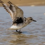2869 Adult Sanderling (Calidris alba), Bolivar Peninsula, TX