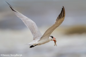 2871 Adult Non-breeding Caspian Tern (Hydroprogne caspia), Bolivar Peninsula, TX
