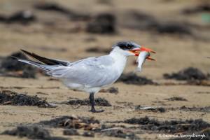 2872 Caspian Tern (Hydroprogne caspia), Bolivar Peninsula, TX