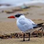 2870 Adult Non-breeding Caspian Tern (Hrdroprogne caspia), Bolivar Peninsula, TX