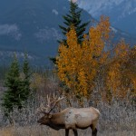 2910 Sunset, Bull Elk, Jasper National Park, Alberta, Canada