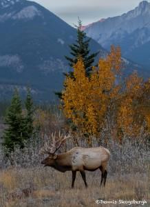 2910 Sunset, Bull Elk, Jasper National Park, Alberta, Canada