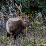 2911 Bull Elk, Jasper National Park, Alberta, Canada