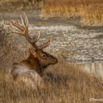 2912 Bull Elk, Jasper National Park, Alberta, Canada