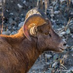 2914 Big Horn Ram, Jasper National Park, Alberta, Canada