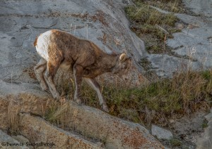 2916 Juvenile Big Horn, Jasper National Park, Alberta, Canada