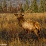 2918 Bull Elk, Jasper National Park, Alberta, Canada