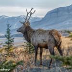 2920 Bull Elk, Jasper National Park, Alberta, Canada