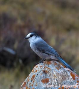2946 Gray Jay (Perisoreus canadensis), Jasper National Park, Alberta, Canada
