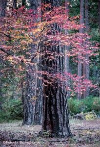 2956 November Colors, Yosemite National Park, CA
