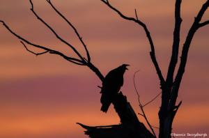 2990 Dawn, Turkey Vulture, Hagerman National Wildlife Refuge, TX