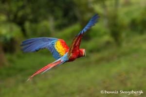3014 Scarlet Macaw (Ara ambiguus). Costa Rica