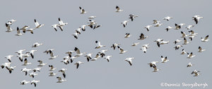 3021 Snow Geese (Chen caerulescens). Hagerman National Wildlife Refuge, TX