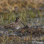 "3022 Wilson""s Snipe (Gallinago delicata), Hagerman National Wildlife Refuge, TX"