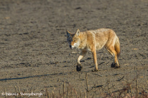 3024 Coyote (Canis latrans). Hagerman National Willdife Refuge, TX