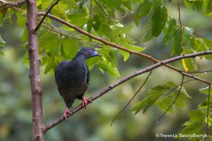 3052 Black Guan (Chamaepetes unicolor). Bosque de Paz, Costa Rica