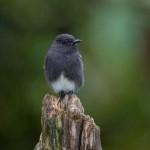 3053 Black Phoebe (Sayornis nigricans). Bosque de Paz, Costa Rica