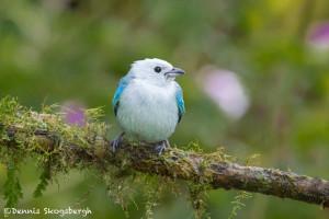 3058 Blue-gray Tanager (Thraupis episcopus). Bosque de Paz, Costa Rica)