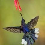 3062 Violet Sabrewing (Campyloptorus hemileucurus), Bosque de Paz, Costa Rica