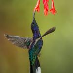 3064 Violet Sabrewing (Campyloptorus hemileucurus), Bosque de Paz, Costa Rica