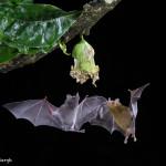 3071 Long-tounged Bats, Laguna del Lagarto, Costa Rica