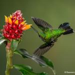 3073 Garden Emerald (Chlorostilbon assimilis). Bosque de Paz, Costa Rica