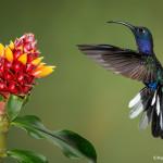 3074 Violet Sabrewing (Campyloptorus hemileucurus), Bosque de Paz, Costa Rica