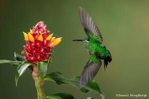 3075 Green-crowned Brilliant (Heliodoxa jacula). Bosque de Paz, Costa Rica