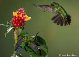 3076 Green-crowned Brilliant (Heliodoxa jacula). Bosque de Paz, Costa Rica