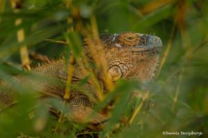 3082 Iguana, Costa Rica