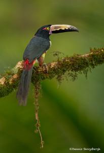 3083 Collard Araçari (Pteroglossus torquatus), Laguna del Lagarto, Costa Rica