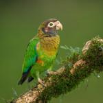 3084 Brown-hooded Parrot (Pionopsitta haematotis), Laguna del Lagarto, Costa Rica