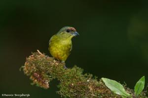 3088 Female Olive-backed Euphonia (Euphonia gouldi). Laguna del Lagarto, Costa Rica