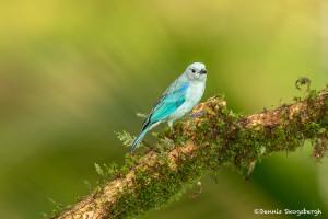 3089 Blue-gray Tanager (Thraupis episcopus), Laguna del Lagarto, Costa Rica
