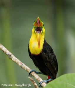 3091 Keel-billed Toucan (Ramphastos sulfuratus), Laguna del Lagarto, Costa Rica