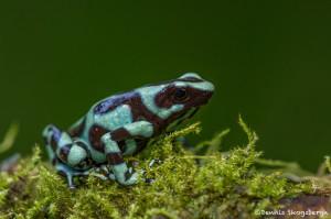 3092 Green and Black Poison Dart Frog (Dendrobates auratus). Selva Verde Lodge, Costa Rica
