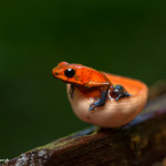 3093 Strawberry Poison Dart Frog (Dendrobates Pumilio). Selva Verde Lodge, Costa Rica