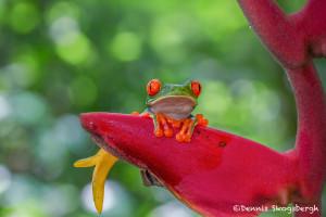 3095 Red-eyed Green Tree Frog (Agalychnis callidryas). Selva Verde Lodge, Costa Rica
