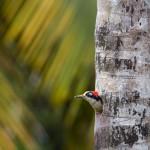3096 Black-cheeked Woodpecker (Melanerpes pucherani). Laguna del Lagarto, Costa Rica