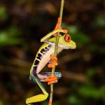 3098 Red-eyed Green Tree Frog (Agalychnis callidryas). Selva Verde Lodge, Costa Rica