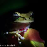 3105 White-lipped Tree Frog (Litoria infrafrenat). Selva Verde Lodge, Costa Rica