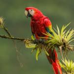 3107 Scarlet Macaw (Ara ambiguus). Costa Rica
