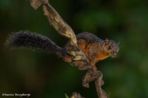 3108 Variegated squirrel (Sciurus variegatoides). Selva Verde, Costa Rica