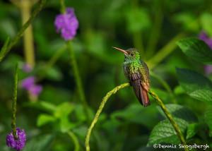 3110 Rufous-tailed Hummingbird (Amazilia tzacatl). Selva Verde Lodge, Costa Rica