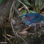 3111 Agami Heron (Agamia agami). Laguna del Lagarto, Costa Rica